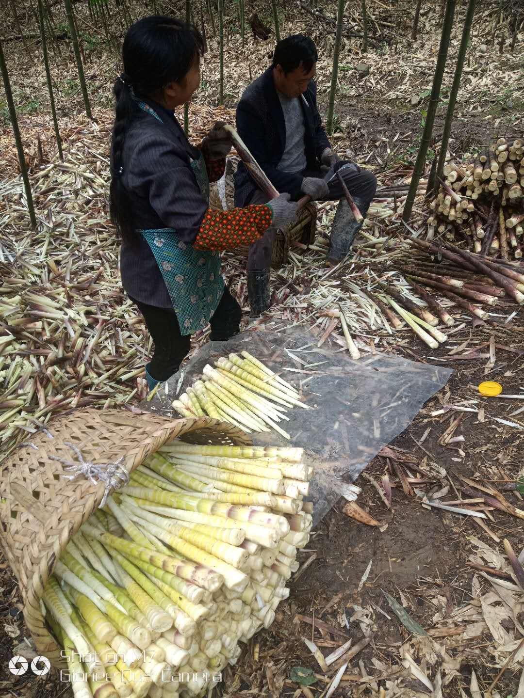 方竹筍是雨後秋筍,營養更為豐富