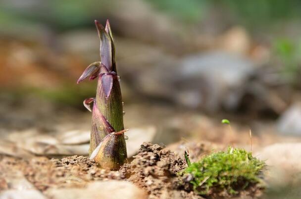 普通竹筍是雨後春筍,營養價值相對較低