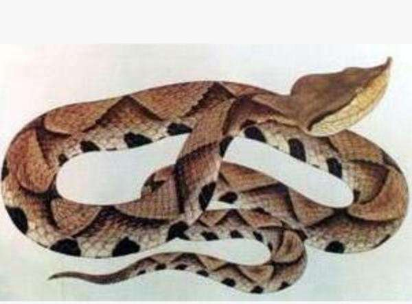 五步蛇.jpg